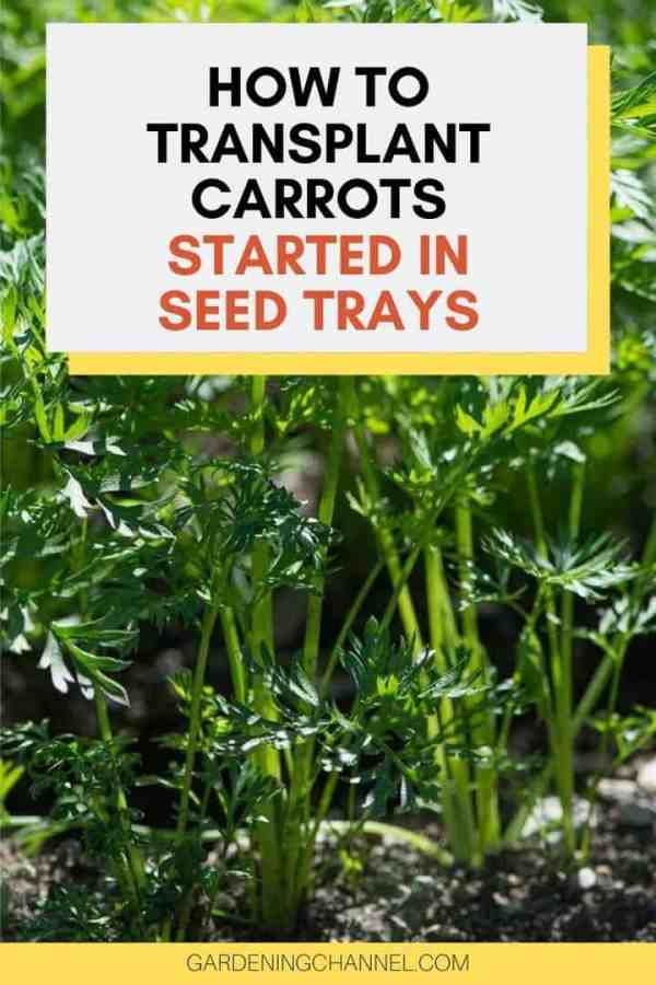 carrot seedlings with text overlay how to transplant carrots started in seed trays