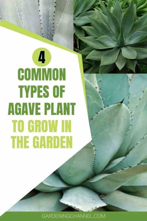 three agave plants with text overlay four common types of agave plant to grow in the garden
