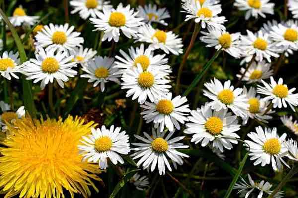 common daisies Bellis perennis