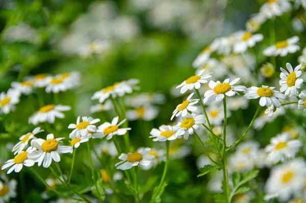feverfew flowering