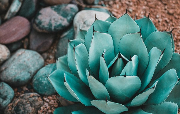 shallow green succulent plant