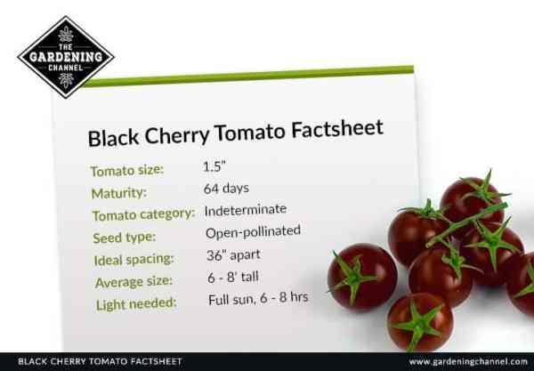 Black Cherry Tomato Factsheet