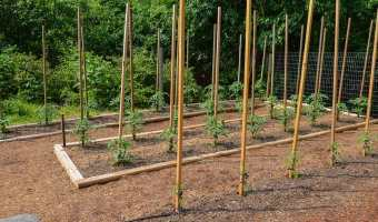 Young tomato plants tied to stakes