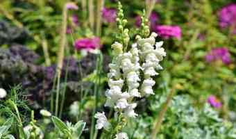 Loewenmaeulchen Snapdragon Flower
