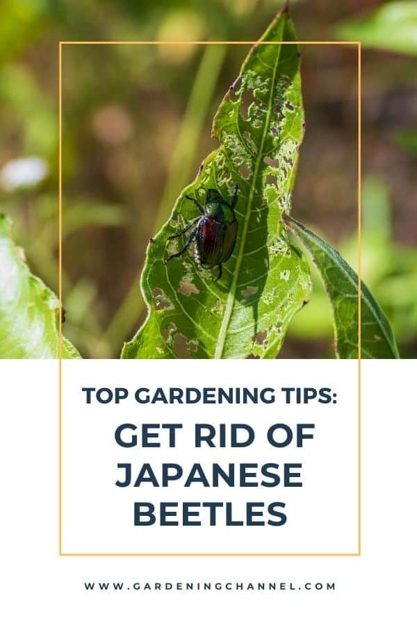 japanese beetle on leaf with text overlay top gardening tips get rid of japanese beetles