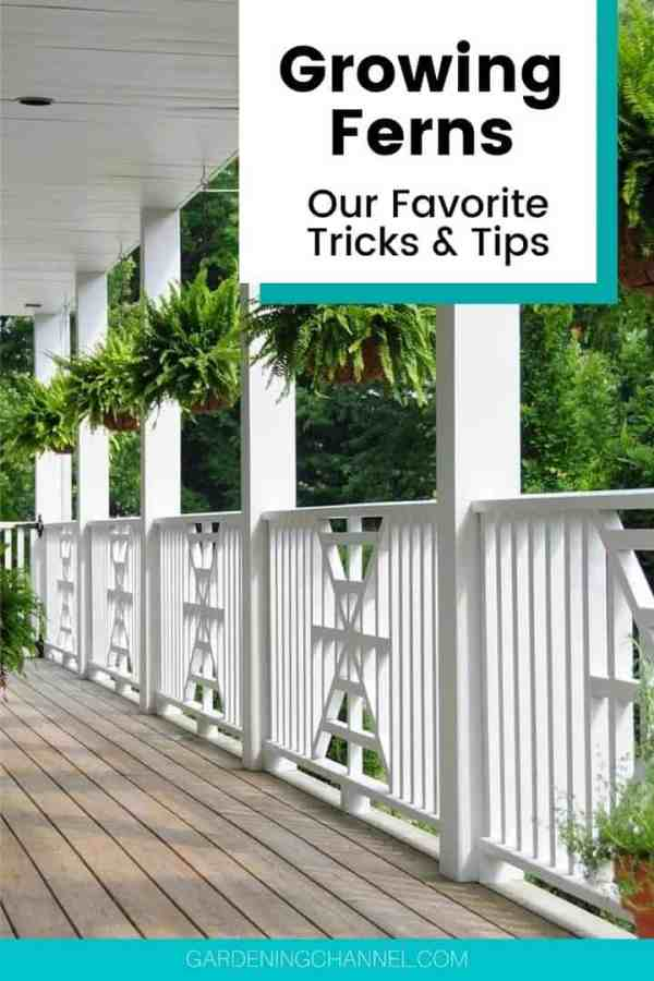 fern planters on porch with text overlay growing ferns our favorite tricks and tips