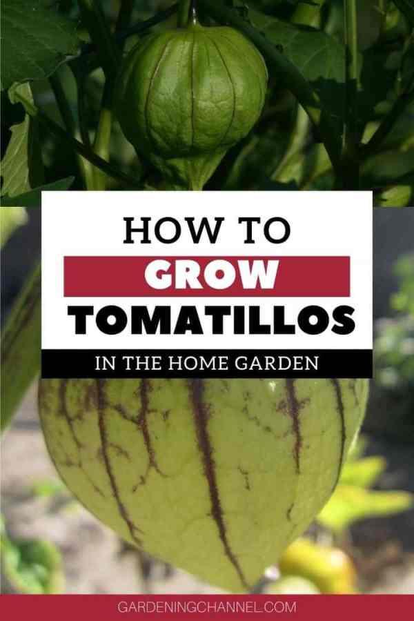tomatillos in garden with text overlay how to grow tomatillos in home garden