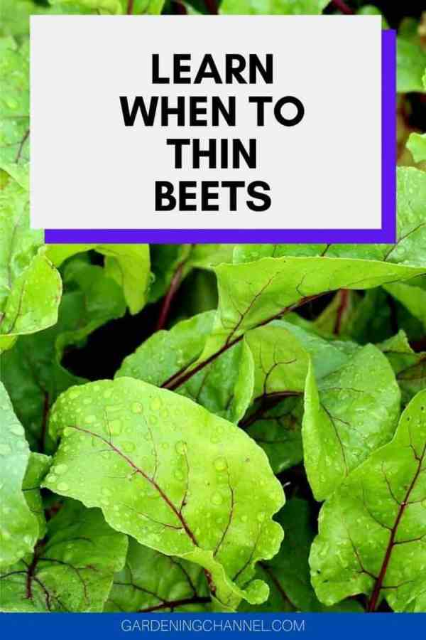 beet greens in garden with text overlay learn when to thin beet