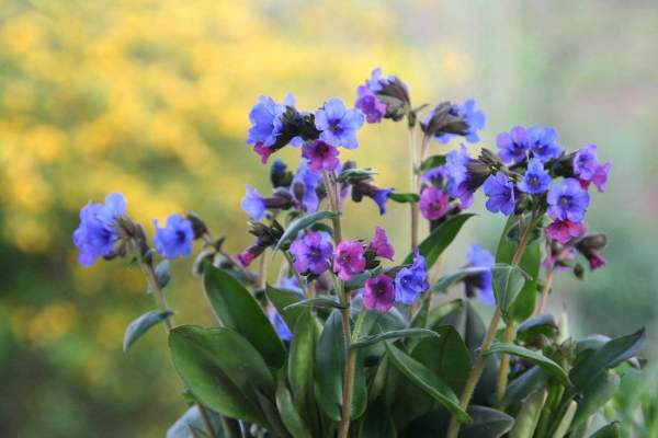 plumonaria lungwort flowers