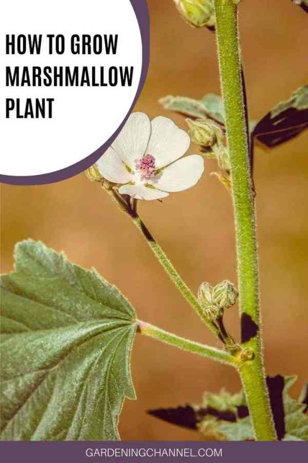 marshmallow perennial herb with text overlay how to grow marshmallow plant