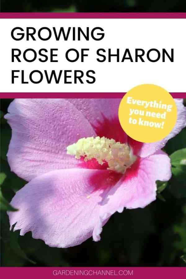 pink rose of sharon with text overlay rose of sharon flowers everything you need to know