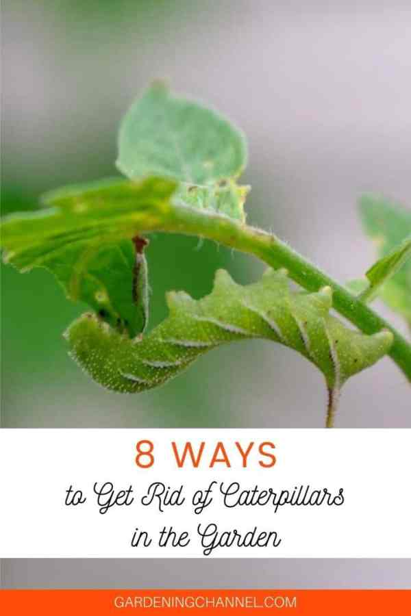 hornworm on tomato stem with text overlay eight ways to get rid of caterpillars in the garden