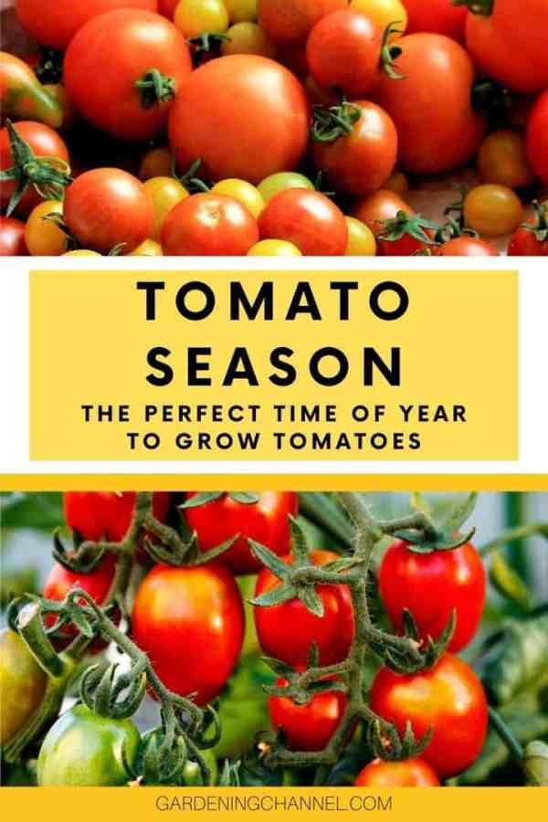 tomato harvest tomato plants with text overlay tomato season the perfect time of year to grow tomatoes