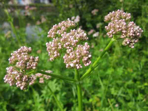 flowering valerian herb