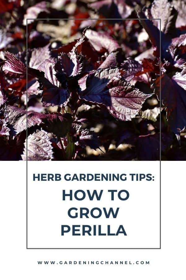 red perilla with text overlay how to grow perilla