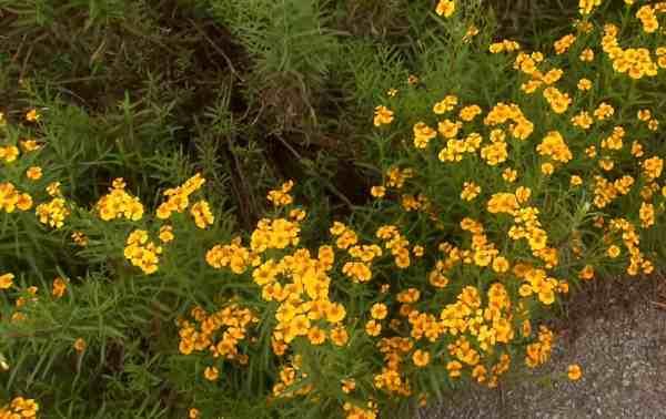 Mexican tarragon plant