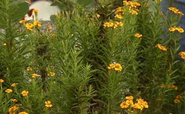 Flowering Mexican tarragon herb