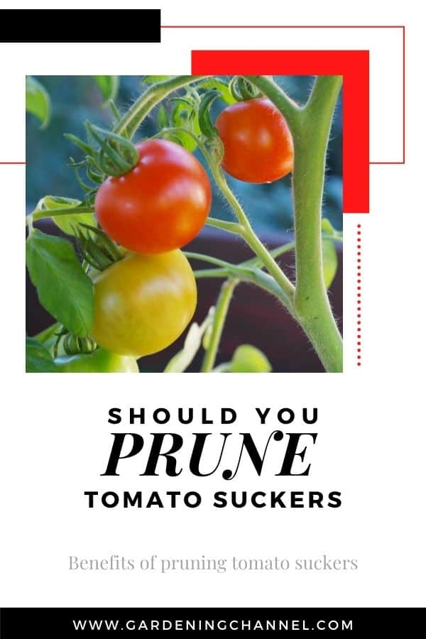 tomato plant with suckers with text overlay should you prune tomato suckers benefits of pruning tomato suckers