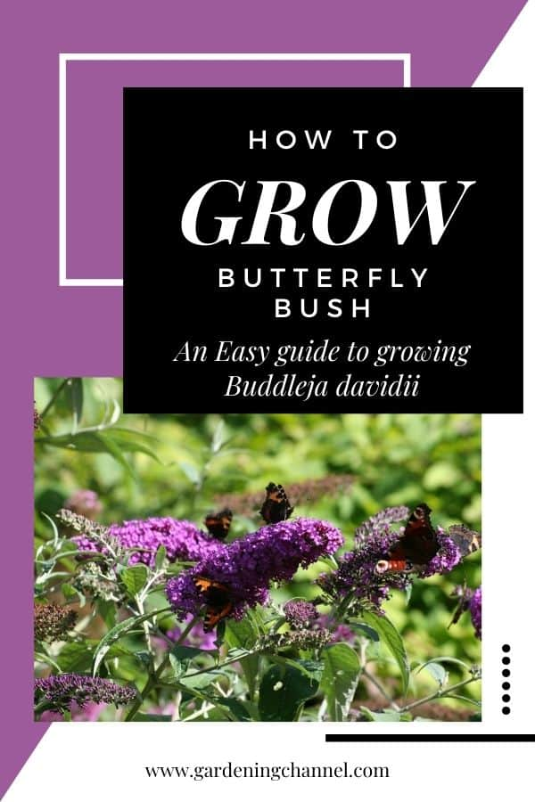 butterfly bush with text overlay how to grow butterfly bush an easy guide to growing beddleja davidii