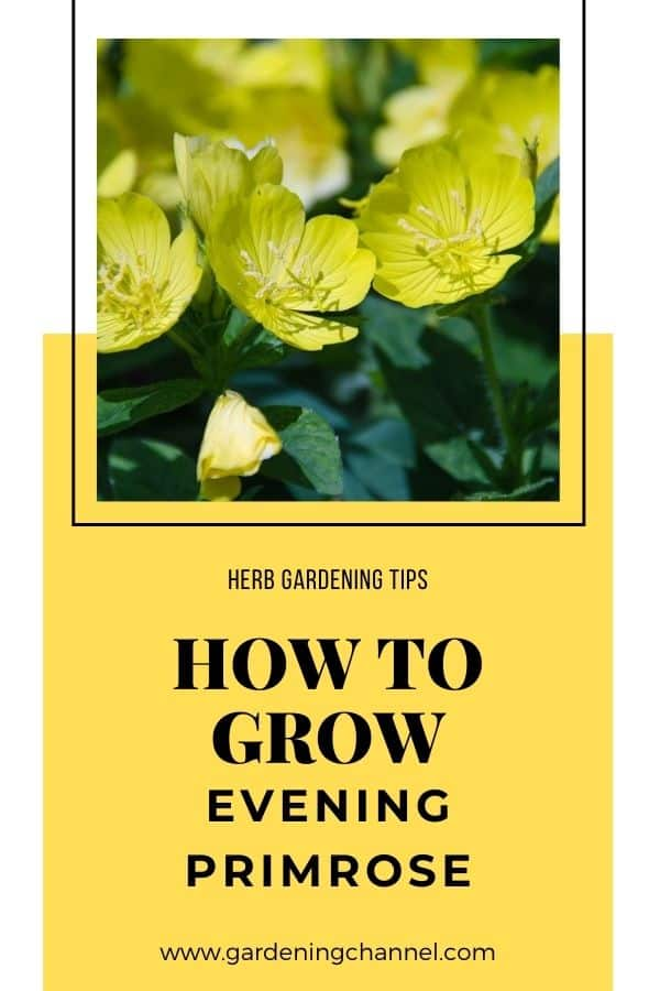 evening primrose with text overlay herb gardening tips how to grow evening primrose