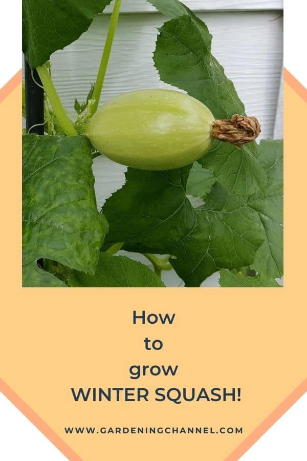 spaghetti squash with text overlay how to grow winter squash
