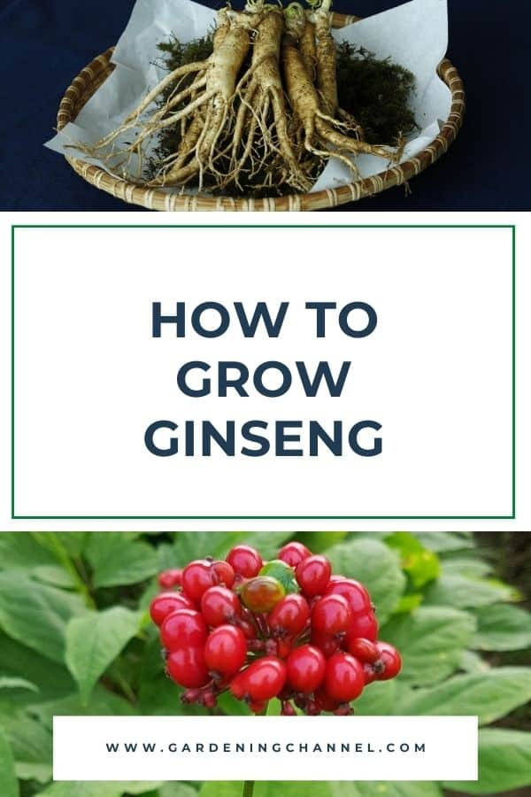 ginseng root and ginseng plant with text overlay how to grow ginseng