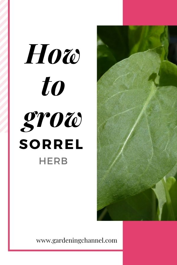 sorrel in garden with text overlay how to grow sorrel herb