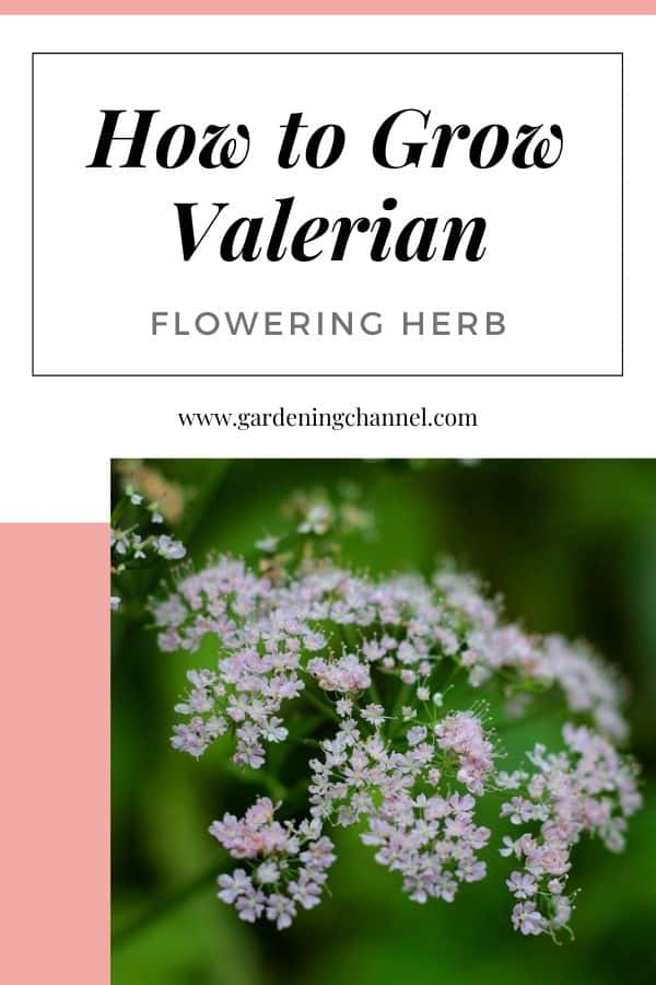 pink valerian with text overlay how to grow valerian flowering herb