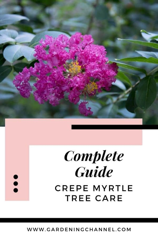 pink crepe myrtle with text overlay complete guide crepe myrtle tree care