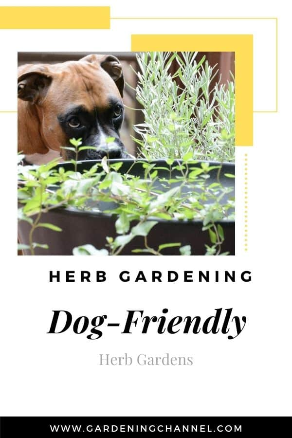 dog with lavender with text overlay herb gardening dog-friendly herb gardens