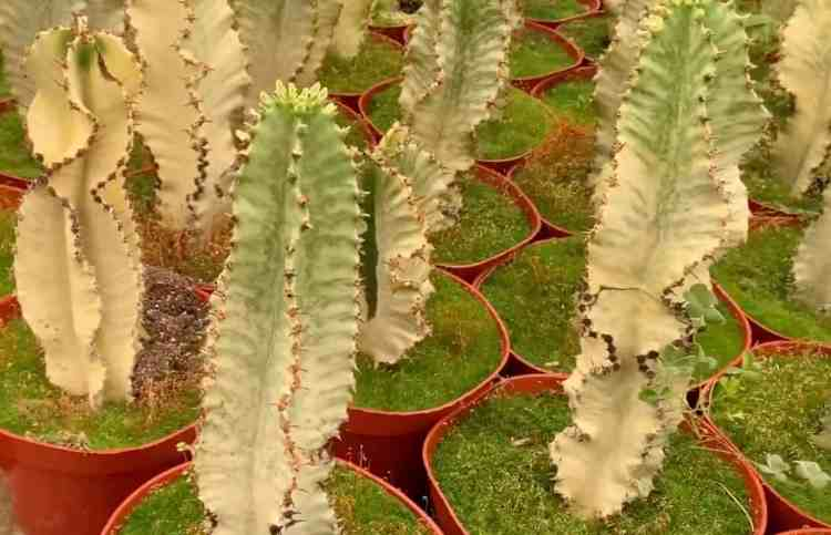 African Candelabra (Euphorbia ammak)