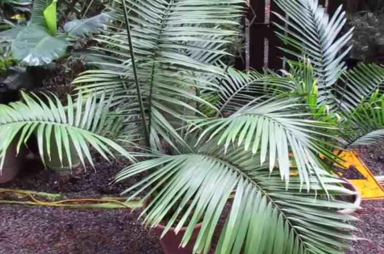 Majesty Palm (Ravenea rivularis)