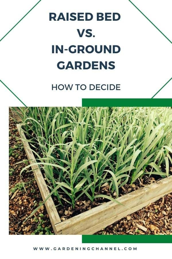 garlic in raised bed with text overlay Raised Bed vs. In-Ground Gardens - How to Decide