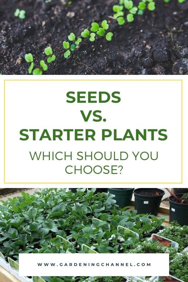 seedlings and nursery plants with text overlay seeds versus starter plants which should you choose
