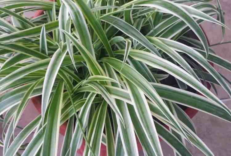 healthy spider plant