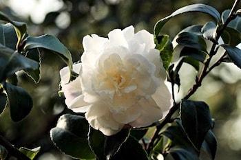 growing camellia