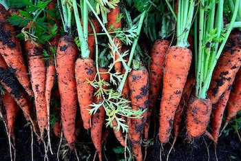 carrots grown in vegetable garden