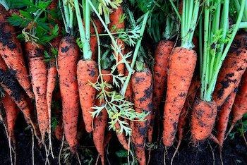 carrots grown in vegetable garden