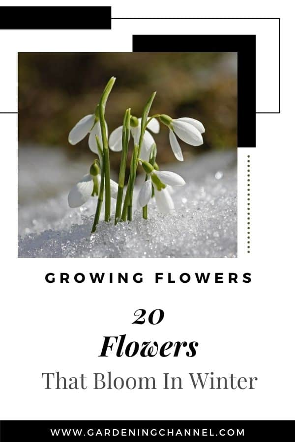 snowdrops blooming with text overlay growing flowers twenty flowers that bloom in winter