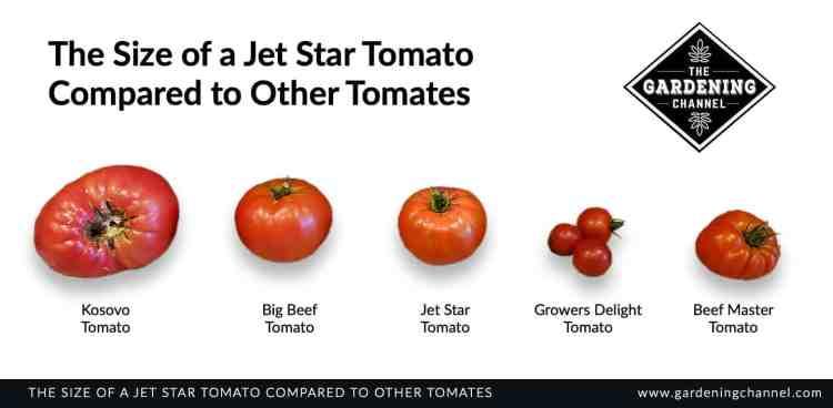 jet star tomato size