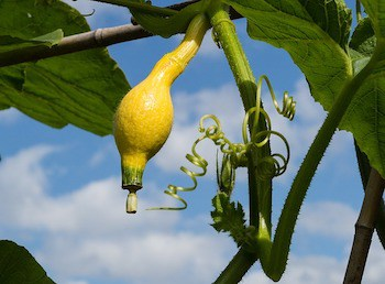 growing gourd in garden vertically