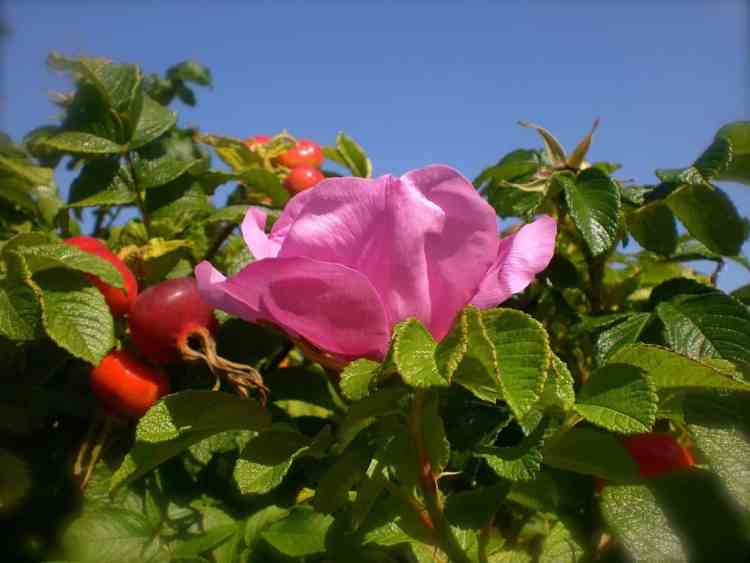 how to grow Rosa Rugosa