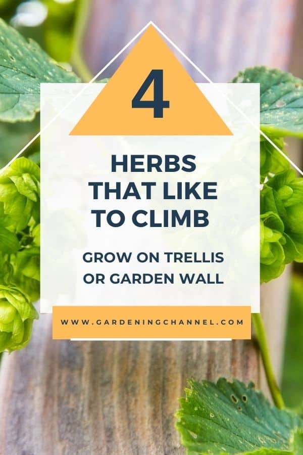 climbing hops with text overlay four herbs that like to climb grow on trellis or garden wall