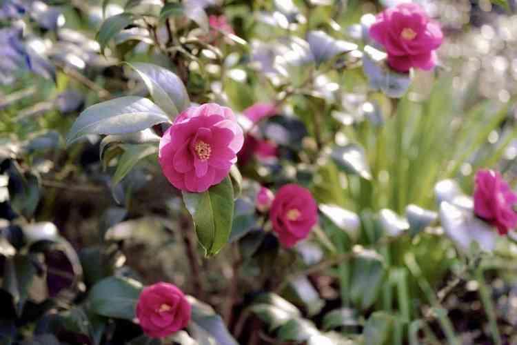 camellia shrub blooming