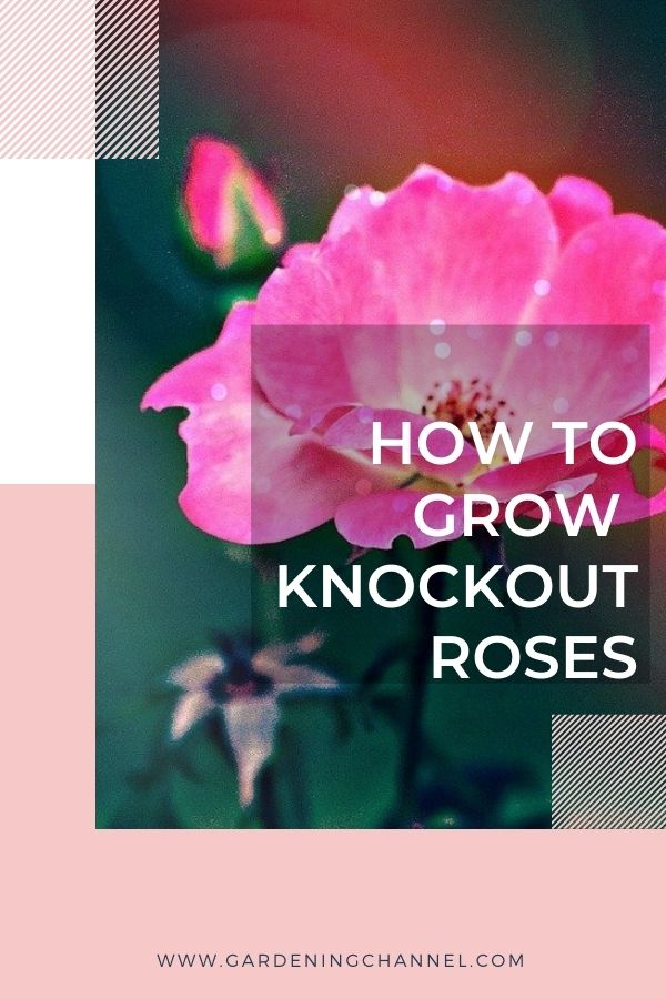 pink knockout roses with text overlay how to grow knockout roses