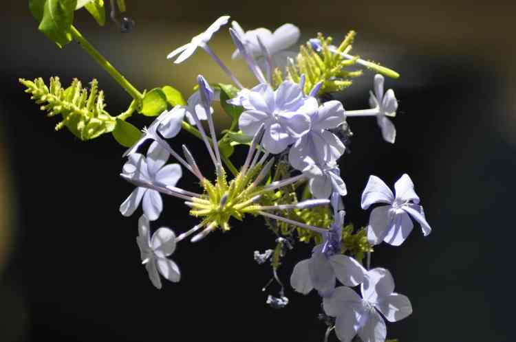 how to grow plumbago plant