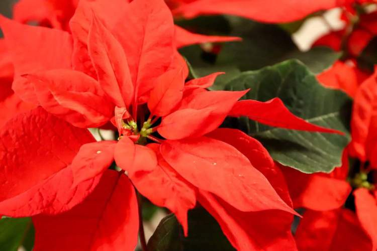 poinsettia plant flowering red