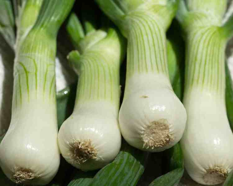 growing scallions in containers