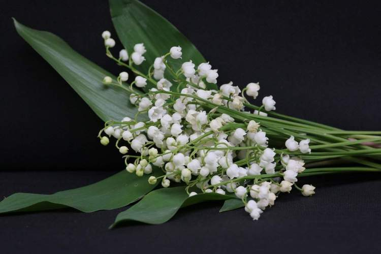 Lily of the Valley bloom clusters