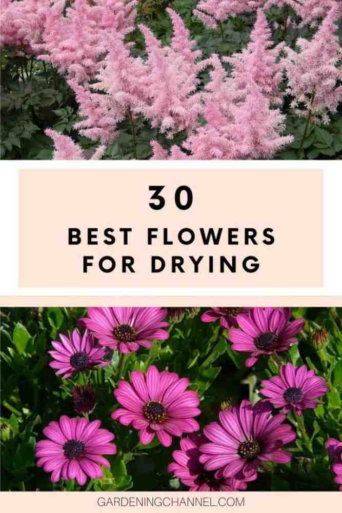 Astilbe and african daisy blooms with text overlay twelve best flowers for drying